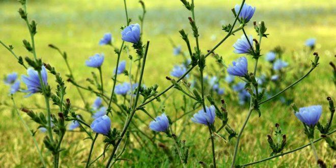 Kasani (Chicory)