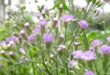 Vernonia Cineria (Sahadevi ) - A wonderful Anti Cancerous Herb