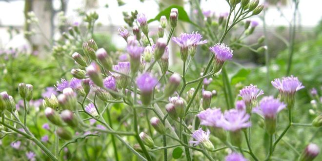 Vernonia Cineria (Sahadevi ) - A wonderful Anti Cancerous Herb