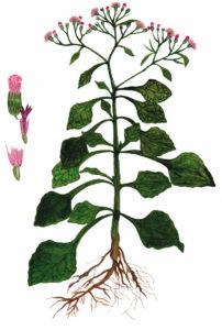 Vernonia Cineria