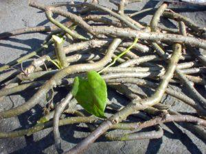 Giloy ( Tinospora cordifolia)