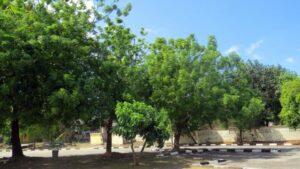 Description of Neem (Azadirachta indica)