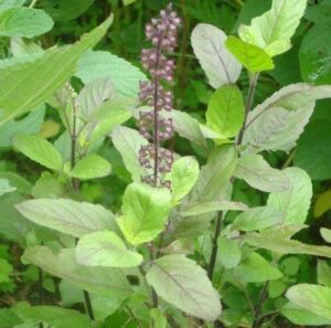 tulsi uses in asthma prevention
